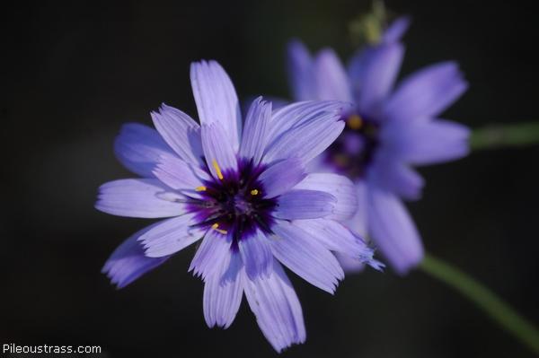 Catananche bleue (ou Cupidone bleue)