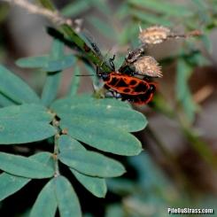 Cherche-Midi (ou Gendarme), de son vrai nom Pyrrhocore (Pyrrhocoris apterus)