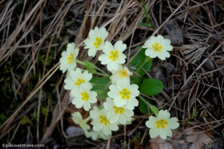 Primevère à grandes feuilles Floraison : Mars/Avril en sous-bois.